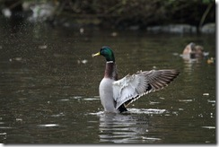 Duck original