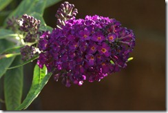 Buddleia average