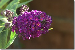 Buddleia half stop over