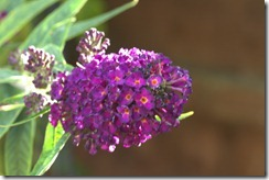 Buddleia one stop over