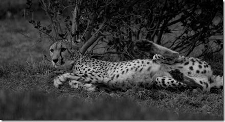 Cheetah 1_BW_4488