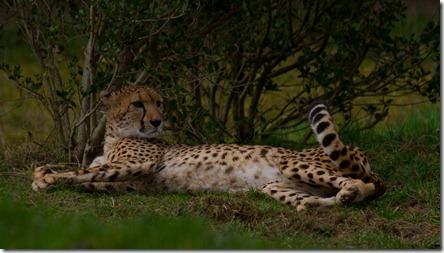 Cheetah 2_4488