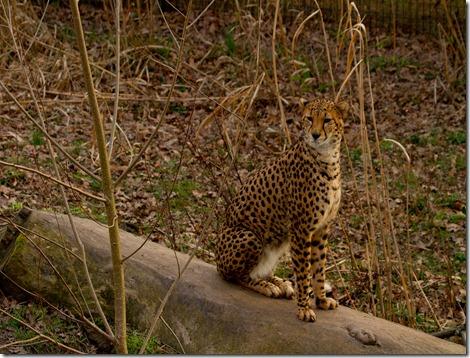Sitting Cheetah_4595