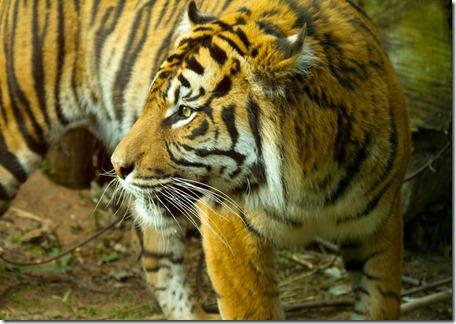 Tiger_4560