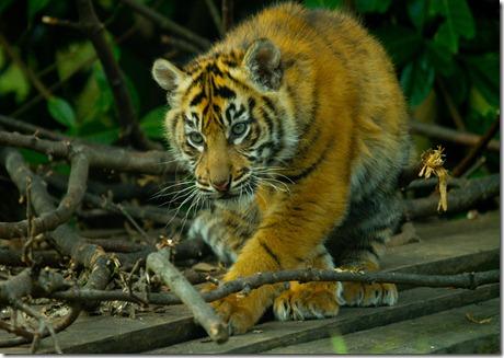Tigercub_4586