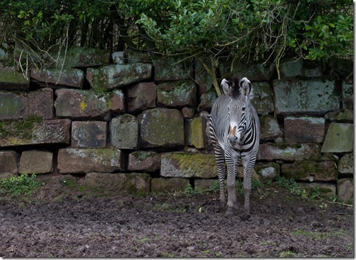 Zebra camouflage not suited for UK Spring